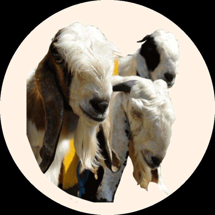 harga kambing aqiqah blitar